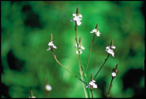 31-vervain