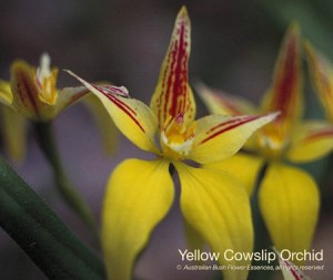 product_images_800x600_4_jpg_102_418_4ff16c5eaf74b_yellow_cowslip_orchid