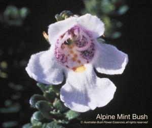 product_images_800x600_4_jpg_33_282_4fed906c6988a_alpine_mint_bush