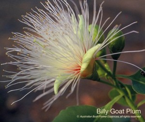 product_images_800x600_4_jpg_38_293_4fed9635e6231_billy_goat_plum