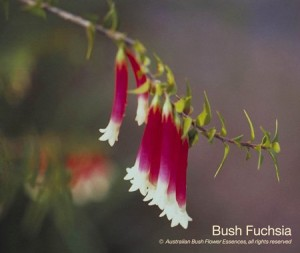 product_images_800x600_4_jpg_44_305_4fed9e7785af3_bush_fuchsia