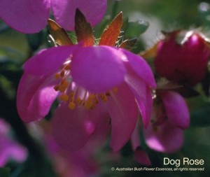 product_images_800x600_4_jpg_49_314_4feda0cd0491a_dog_rose
