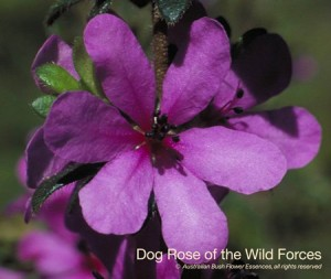 product_images_800x600_4_jpg_50_317_4feda155b7d91_dog_rose_wild_forces