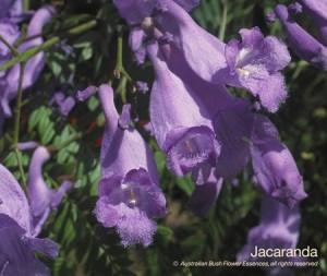 product_images_800x600_4_jpg_63_342_4feda8f3a4992_jacaranda