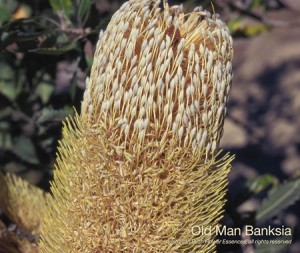 product_images_800x600_4_jpg_74_362_4fedaea4acbdb_old_man_banksia