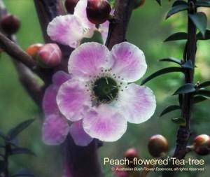 product_images_800x600_4_jpg_76_366_4fedb00eab3a4_peach_flowered_tea_tree