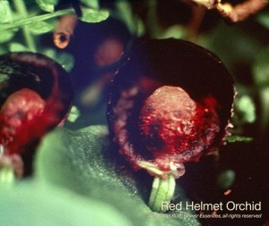 product_images_800x600_4_jpg_81_377_4ff164aa11642_red_helmet_orchid