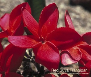 product_images_800x600_4_jpg_83_381_4ff165510de50_red_suva_frangipani