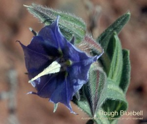 product_images_800x600_4_jpg_84_382_4ff165a4b31cc_rough_bluebell