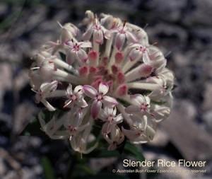 product_images_800x600_4_jpg_87_389_4ff1669fb79e8_slender_rice_flower